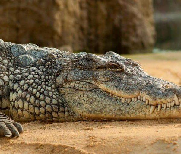 close-up krokodil