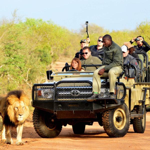 Leeuw en jeep met toeristen