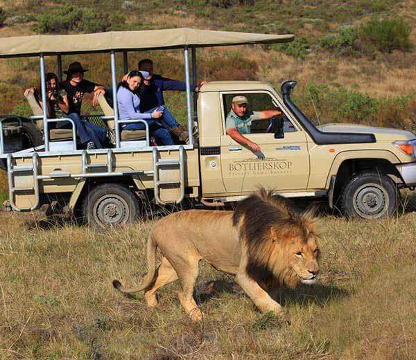 Jeep bij Botlierskop en leeuw