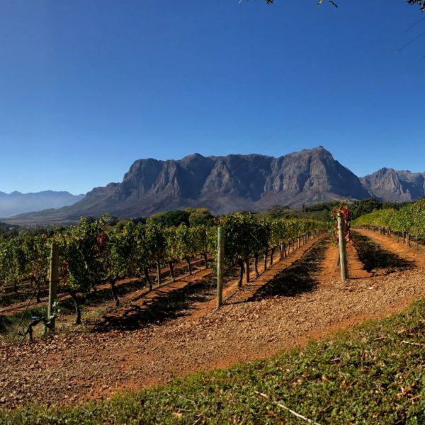 Wijnranken in Zuid-Afrika