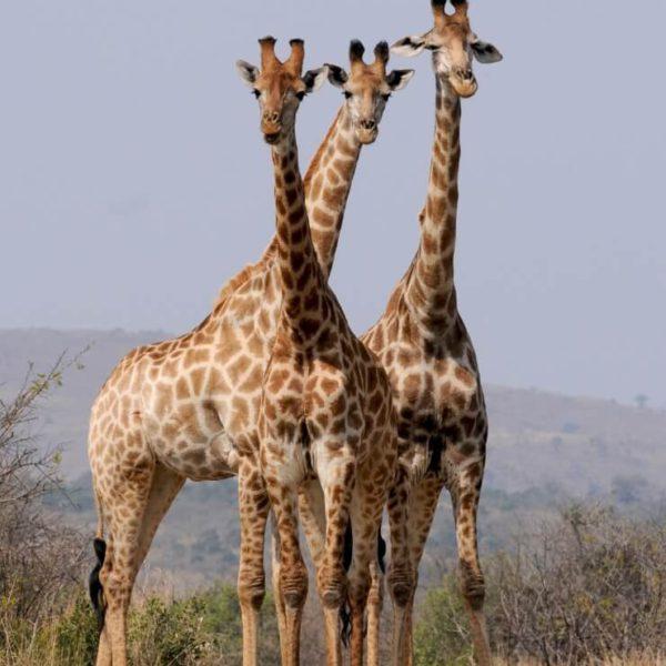 3 giraffen in Zimbabwe