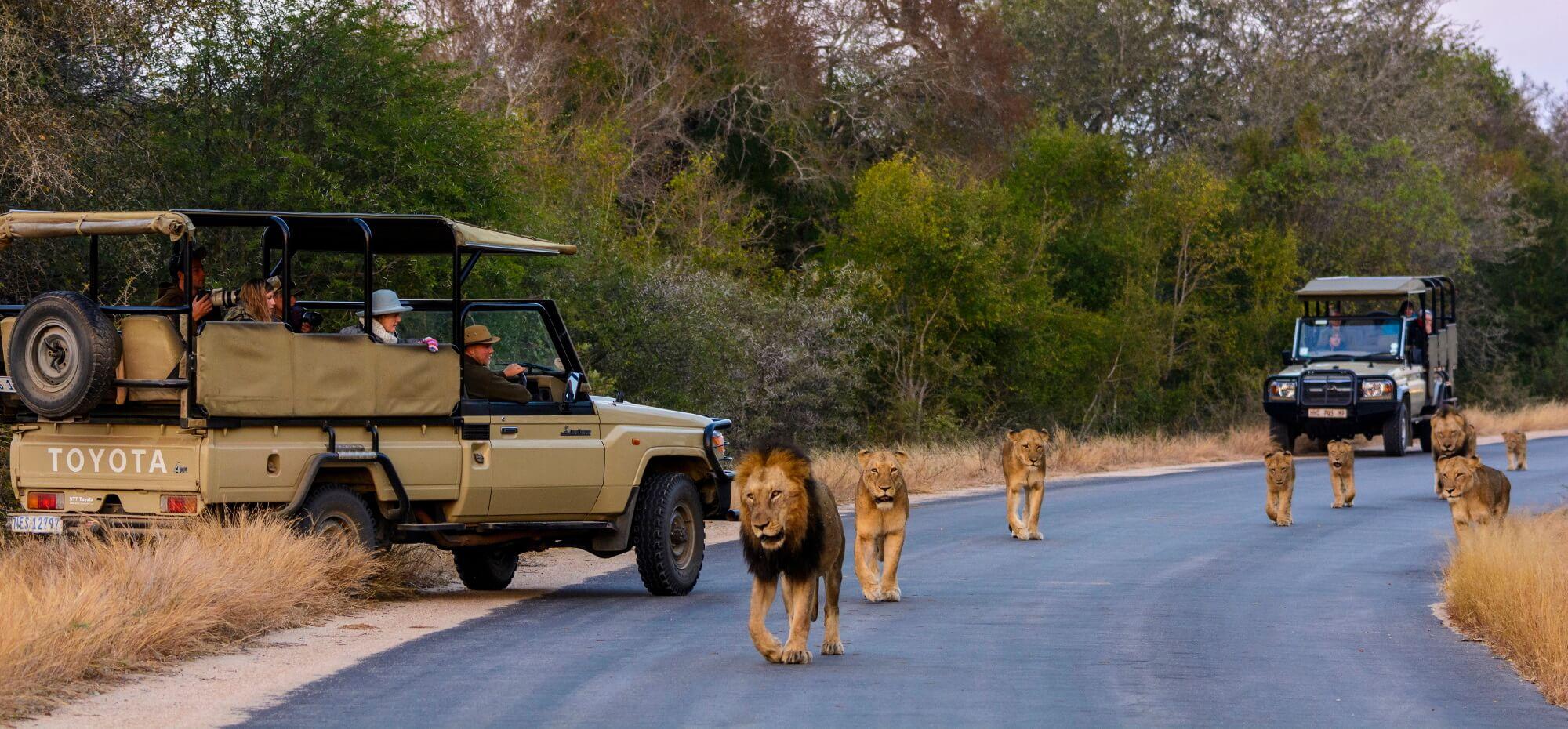 twee safari jeeps met leeuwen