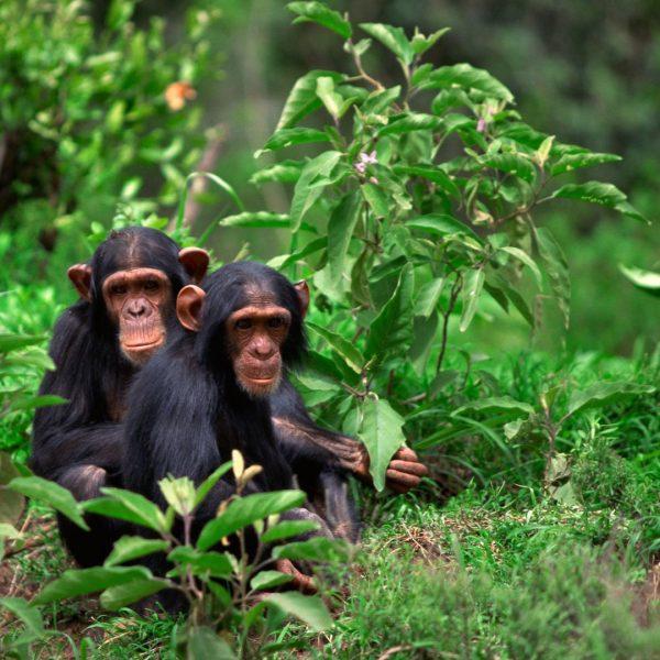 Chimpanzee-Rwanda