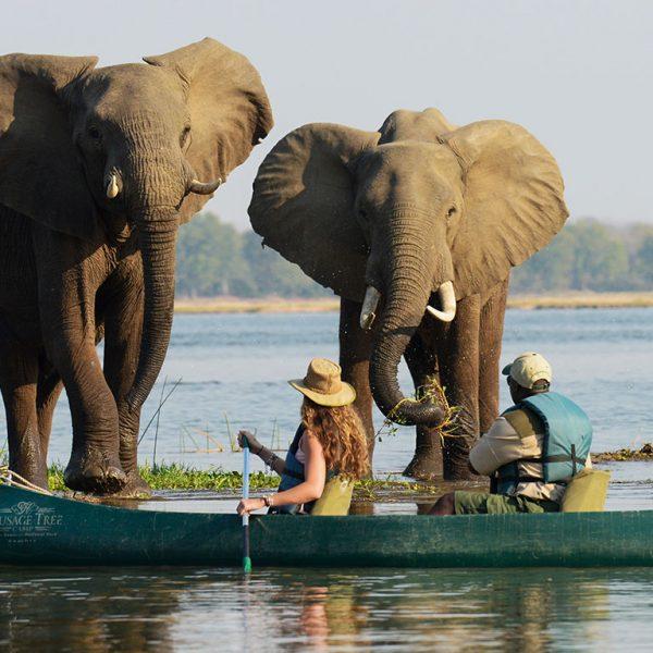 zambia safari olifanten