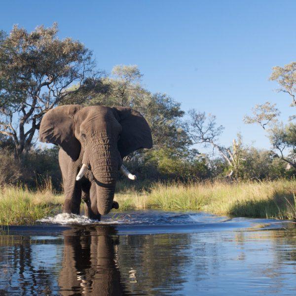botswana olifant spotten